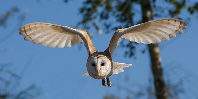 barn-owl-1107397_640-min